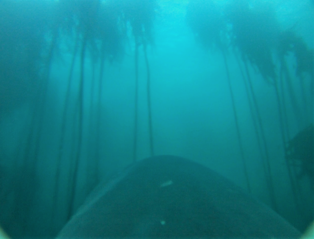 Die Aufnahmen der Unterwasserkameras zeigen, dass die Haie entgegen bisheriger Annahmen regelmäßig durch die Seetang-Wälder vor der südafrikanischen K