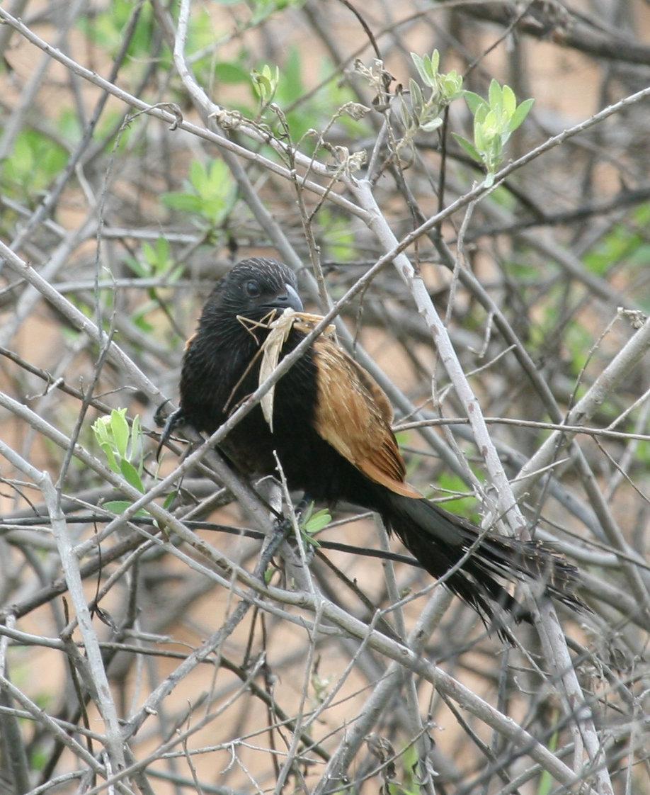 Ein männlicher Grillkuckuck bringt Futter ins Nest.