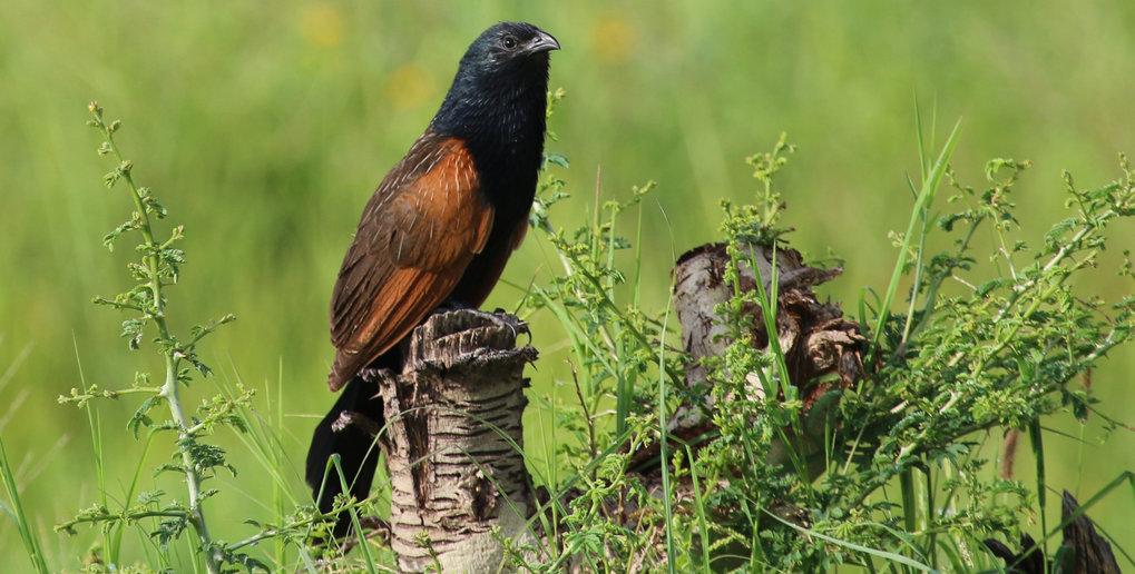 Das Grillkuckuck-Weibchen verteidigt ein Revier mit bis zu fünf Männchen. Diese ziehen die Jungtiere alleine groß.