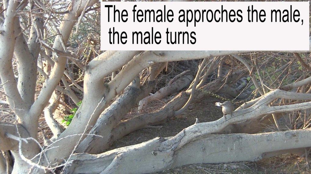 Intentional object presentation by an Arabian babbler male