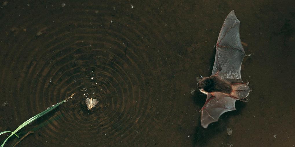 Die Wasserfledermaus verdankt ihren deutschen Namen ihrem Jagdverhalten. Neben Krabbeltieren lässt sie sich gerne auch kleine Fischchen schmecken.