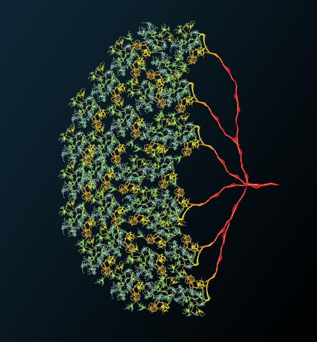 Die Nervenzelle CT1 im Gehirn der Fruchtfliege funktioniert mit ihren Untereinheiten wie rund 1400 einzelne Zellen.