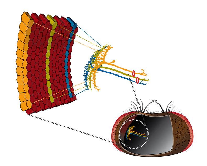 In ihrem Eingangsbereich (breites Zellende) erhält jede VS-Nervenzelle  Informationen aus einem schmalen Streifen des Fliegenauges. Im  Ausgangsbereic