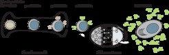<strong>Abb. 1</strong>: <strong>B-Zell-Entwicklung</strong>. B-Zellen entstehen im adulten Tier aus hämatopoietischen Stammzellen im Knochenmark. Rei