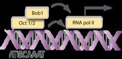 <strong>Abb. 2: Bob1 ist ein Transkriptionsfaktor. </strong>Bob1 bindet zusammen mit den Transkriptionsfaktoren Oct1 oder Oct2 an die Oktamer-Sequenz