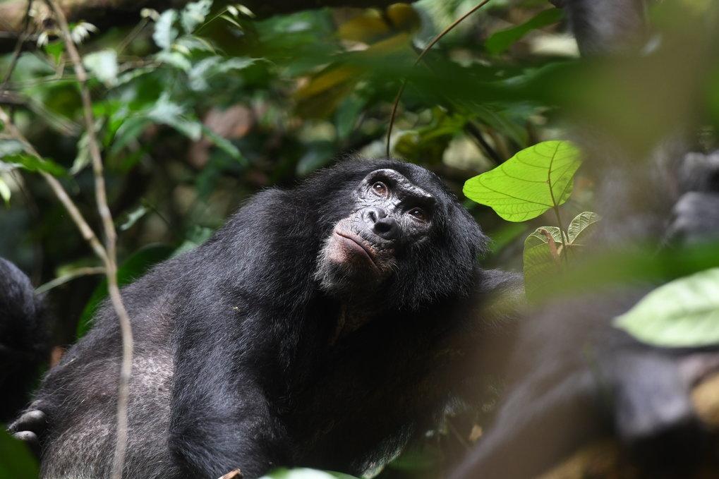 Erwachsener männlicher Bonobo, Kokolopori Bonobo Reserve, Demokratische Republik Kongo.