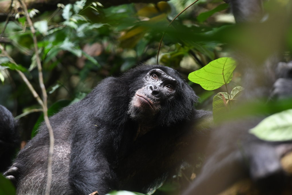 Bonobo mothers help their sons to have more offspring
