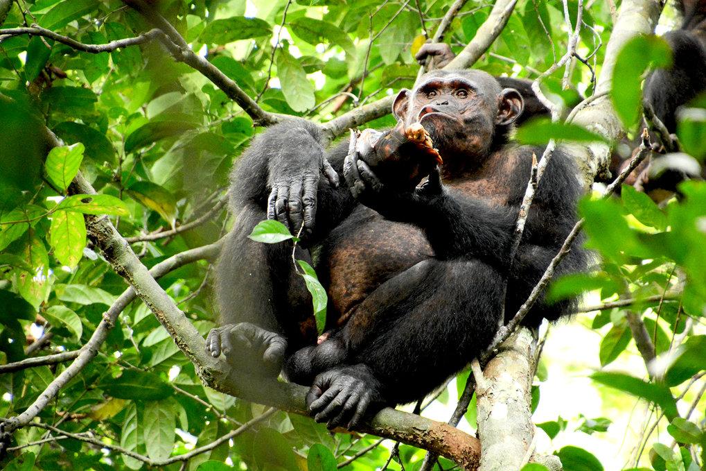 Schimpanse im Loango Nationalpark in Gabun beim Verzehr einer Schildkröte.