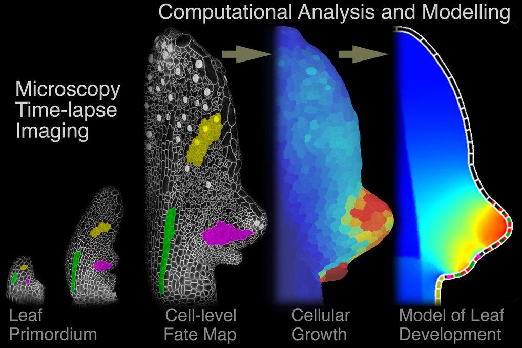 Mittels Mikroskopie und Computeranalyse können Forscher die Entstehung eines Blattes im Detail verfolgen.