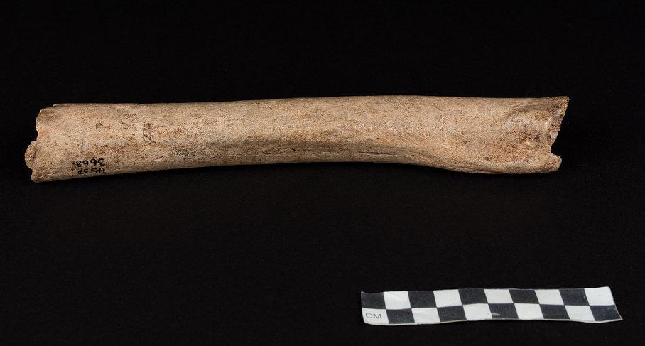 Oberschenkelknochen eines männlichen Neandertalers aus der Hohlenstein-Stadel-Höhle in Deutschland.