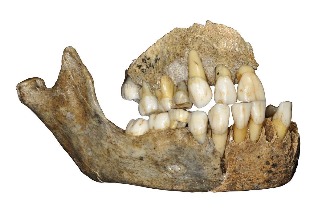 Oberkieferknochen eines Neandertalermädchens aus der Scladina-Höhle in Belgien.