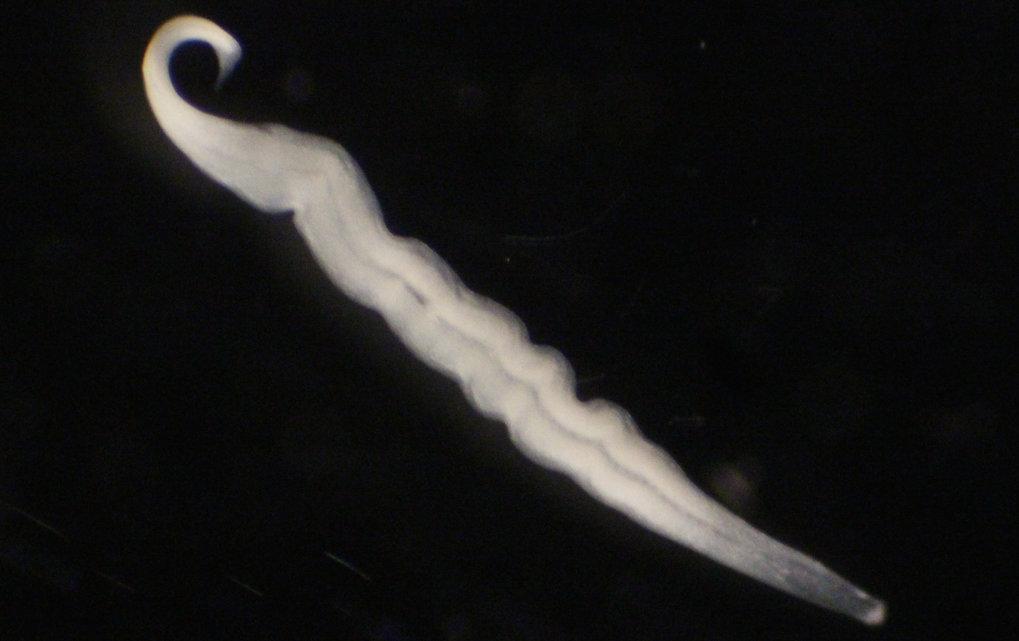Kentrophoros sp., gesammelt in Elba, Italien. Dieser Ciliat, der aus einer einzigen riesigen (> 1 mm) eukaryotischen Zelle besteht, trägt mehrere M