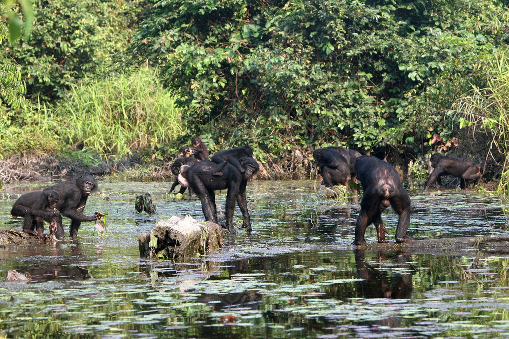 Bonobo diet of aquatic greens may hold clues to human evolution
