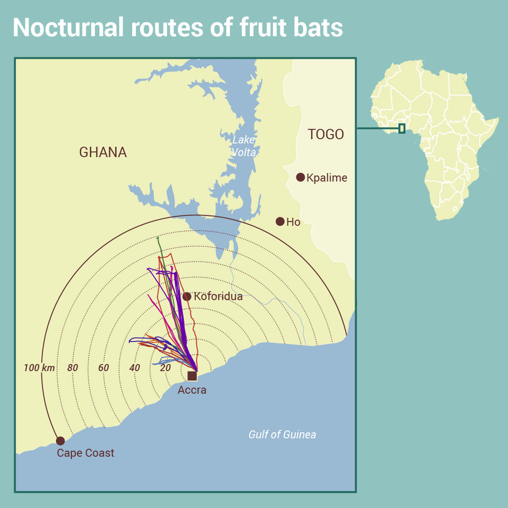 Hunting fruit bats also harms humans
