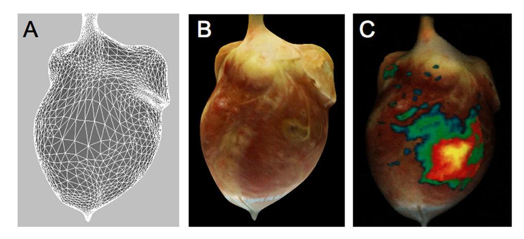 3D-Rekonstrukution  eines Kaninchen-Herzen. (A) 3D-Oberflächen-Geometrie der Herzens. (B)  Darstellung der photorealistischen, anatomischen Oberfläche