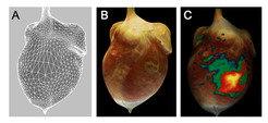 <strong>Abb. 3:</strong> 3D-Rekonstrukution eines Kaninchen-Herzen. (A) 3D-Oberflächen-Geometrie der Herzens. (B) Darstellung der photorealistischen,