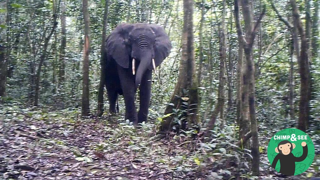 Manchmal geht bei Chimp&See auch ein Elefant in die Kamerafalle.