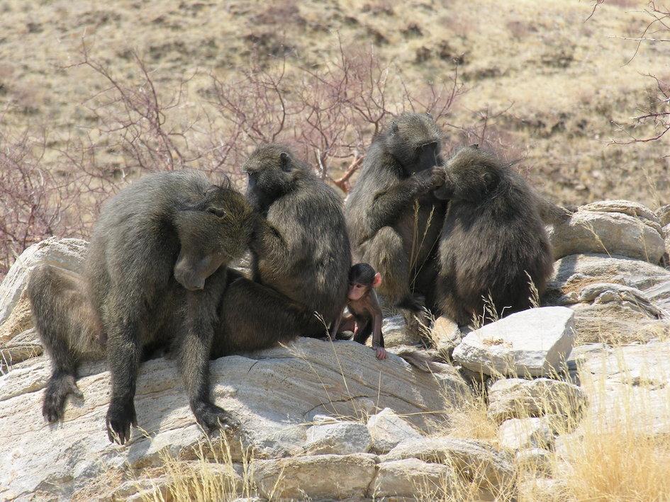 Paviane leben in sozialen Gruppen mit mehreren Artgenossen zusammen. Bei Ressourcenmangel kann es dazu kommen, dass Weibchen den Nachwuchs ihrer Konku