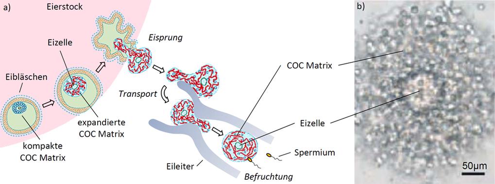 <b>Abb.1:</b> (a) Illustration der Eireifung. Die gelartige Zuckerhülle um die Eizelle – engl. Cumulus Cell-Oocyte Complex Matrix, COC Matrix – ist e
