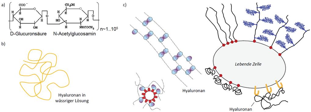 <b>Abb.2:</b> Hyaluronan und hyaluronanbindende Proteine. (a) Molekularstruktur von Hyaluronan. (b) Die Hyaluronankette ist flexibel und bildet in Wa