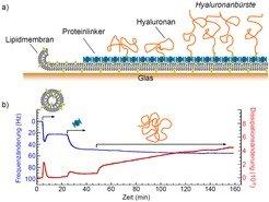 <b>Abb.3:</b> Wie kann man eine Zuckerhülle künstlich nachbauen? (a) Eine Glasoberfläche wird zu diesem Zweck mit einer Lipidmembran funktionalisiert