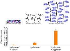 <b>Abb.5: </b>Verschiedene biologische Bausteine regulieren die Morphologie von Zuckerfilmen. Aggrekan führt zu einer starken Schwellung des Hyaluron