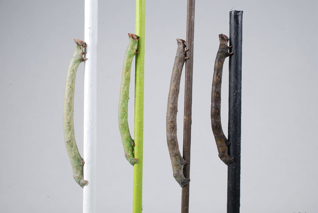 Caterpillars perceive colour through their skin