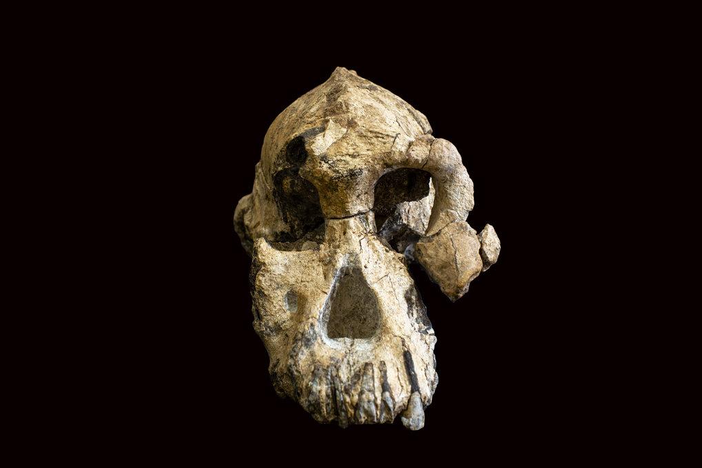 Der 3,8 Millionen Jahre alte fossile Schädel eines Australopithecus anamensis ist erstaunlich gut erhalten.