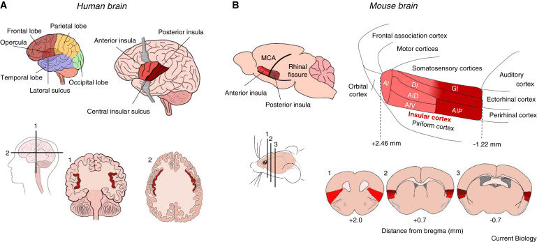 Die Lage der Inselrinde im Gehirn von Menschen (A) und Mäusen (B).