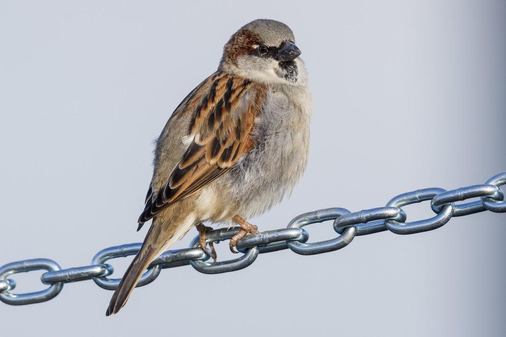 """Selbst """"Allerweltsvögel"""" wie der Haussperling werden immer weniger. Heute kommen nur noch halb so viele am Bodensee wie vor 40 Jahren. Auch der Spatz"""