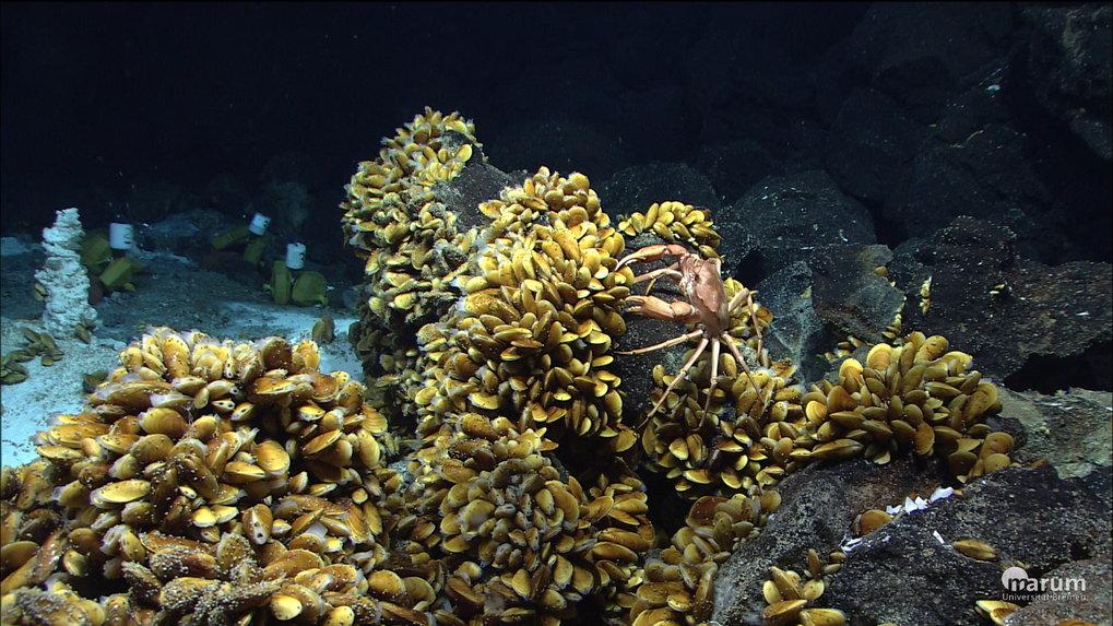 Bathymodiolus-Muscheln und andere Bewohner der Hydrothermalquellen am Mittelatlantischen Rücken vor der Küste der Azoren.