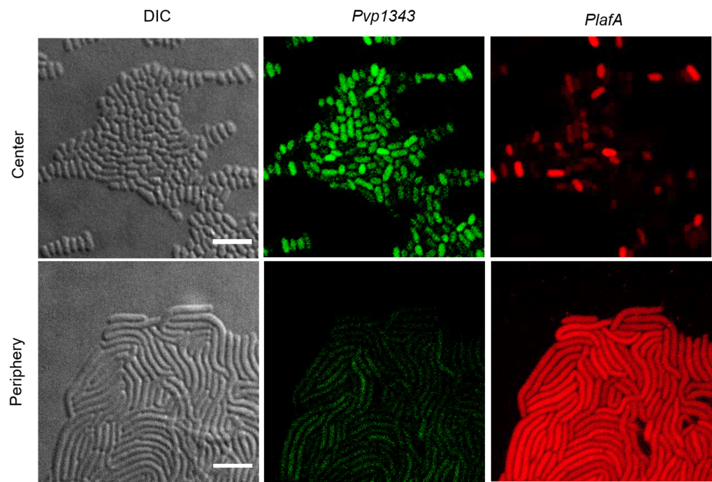 Proteinbildungsmuster reifer Schwarmzellkolonien. Die Bilder zeigen Mikroskopie-Aufnahmen von Zellen des Außen- und Innenbereiches der reifen Schwarmz