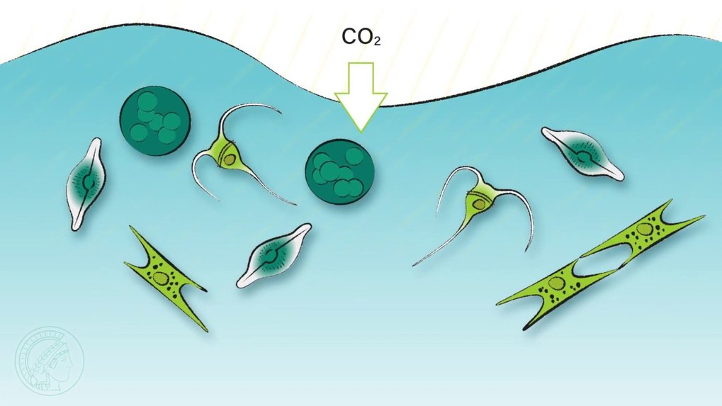 The β hydroxyaspartate cycle, which was discovered more than 50 years ago in the soil bacterium Paracoccus, has received little attention, and its exact biochemical processes remained unexplored. As it now turns out, the cycle of billions of tons of carbon in the oceans must be reassessed.