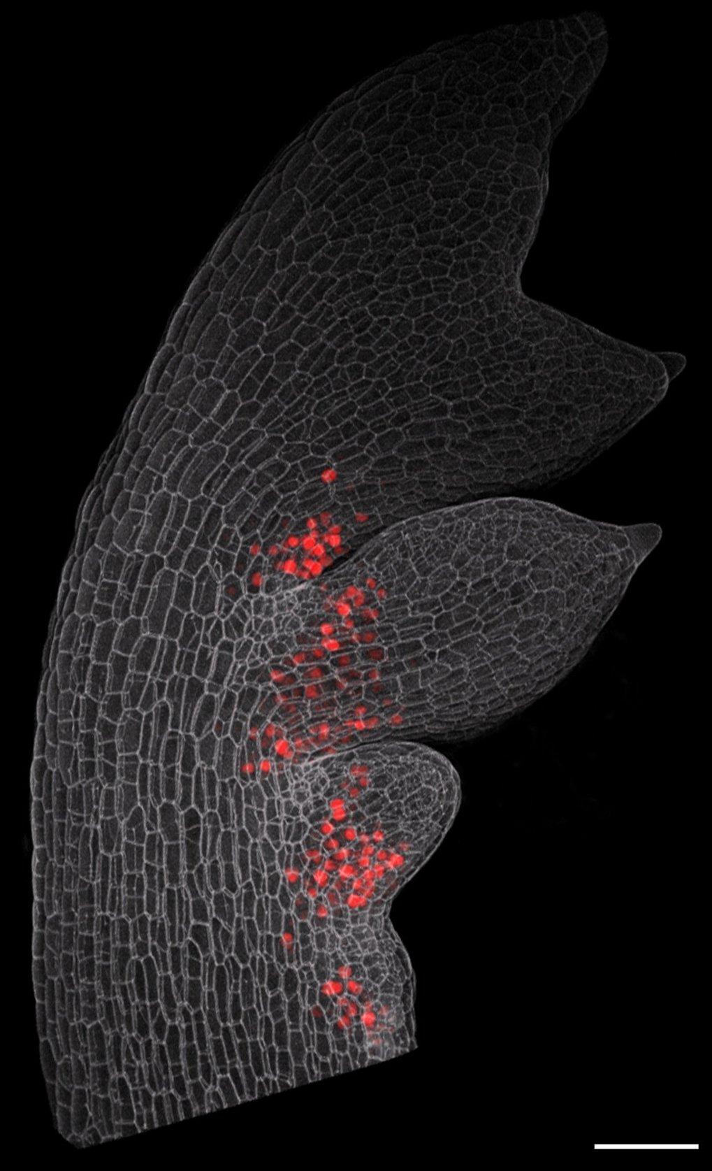 Mikroskopie-Bild eines jungen Blattes des Behaarten Schaumkrauts mit entstehenden Nebenblättern (Zellumrisse: grau). Das hier in roter Farbe dargestel