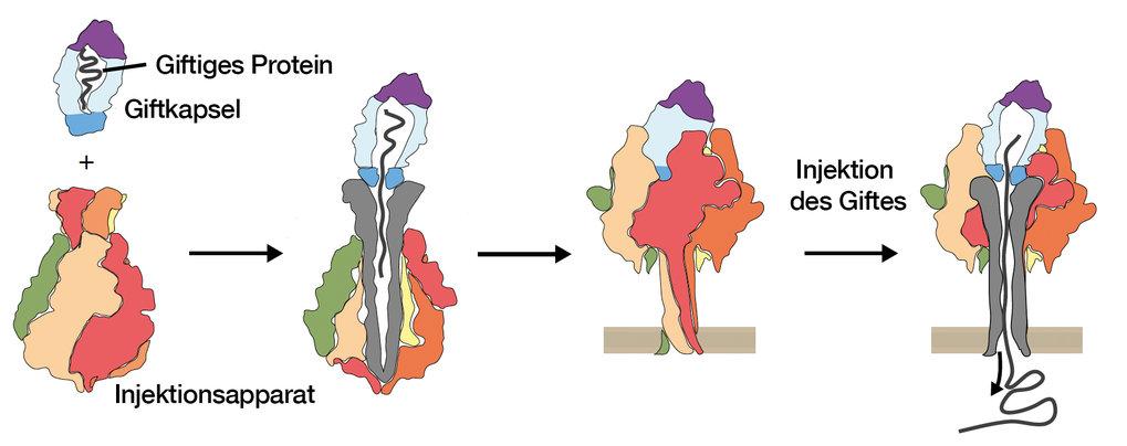 Mechanismus der Injektion des giftigen Proteins durch den bakteriellen Injektionsapparat.