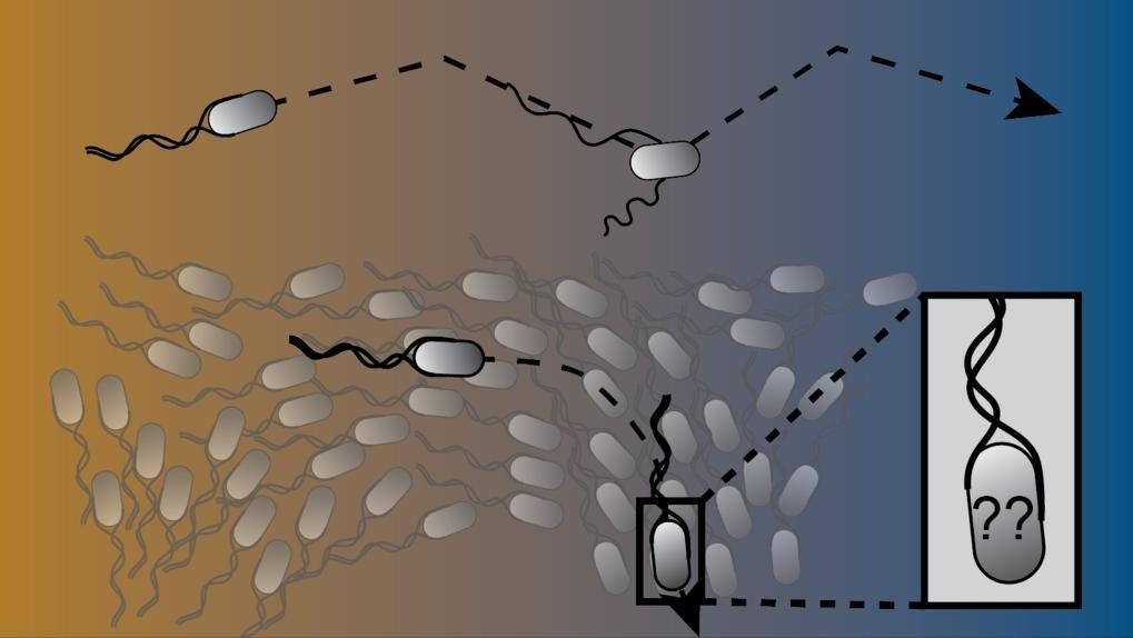 Kollektive Effekte beeinträchtigen die chemotaktische Navigation in der Umwelt. Während Bakterien in der Isolation durchaus in der Lage sind, physikal