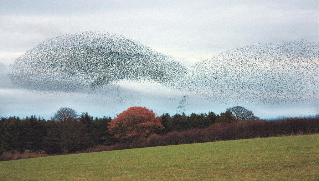 Ein faszinierendes Schaupiel, die präzise koordinierte und doch fließende Bewegung von Vogelschwärmen – wie von unsichtbarer Hand geführt. Das Schwarm
