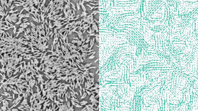 Kollektive Bewegung in Bakteriensuspensionen. Rechts: Typische Momentaufnahme des Geschwindigkeitsfeldes, gemessen in einer hochdichten Zellsuspension