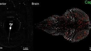 Behavior (left) and brain activity (right) of a larval zebrafish during foraging