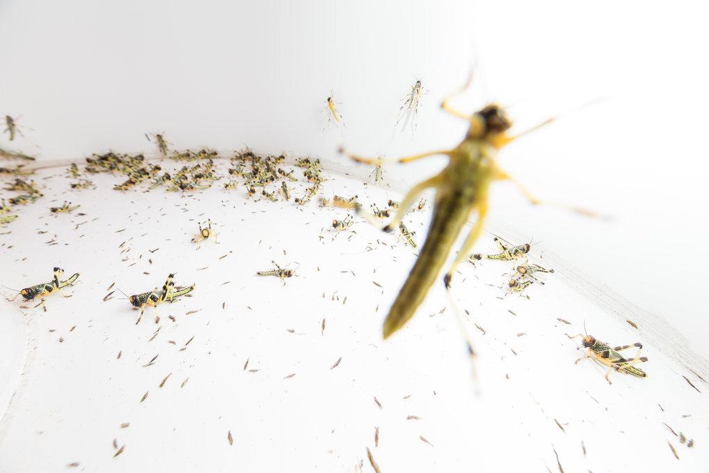 In der Natur bilden Wanderheuschrecken Schwärme von mehr als einer Milliarde Individuen, wenn zu viele Tiere auf engem Raum leben. Iain Couzin möchte