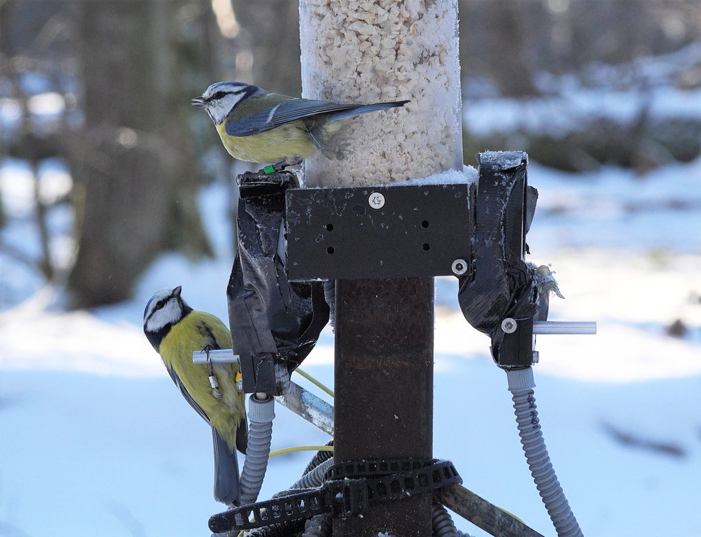Winter associations predict social and extra-pair mating patterns in blue tits