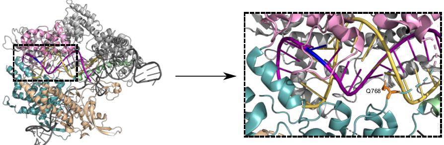 Struktur von Cas9, das an eine einzelne guide-RNA (Gerüst in dunkelgrau, spacer in gelb) und einen DNA-Zielstrang (violett) gebunden ist. Die Änderung