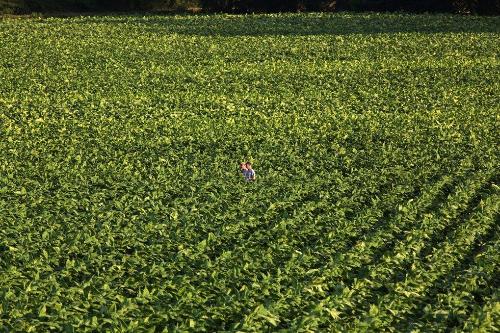 Tabakplantage in Italien. Künftig könnten diese Pflanzen auch zur Produktion von Farb- oder Impfstoffen angebaut werden.