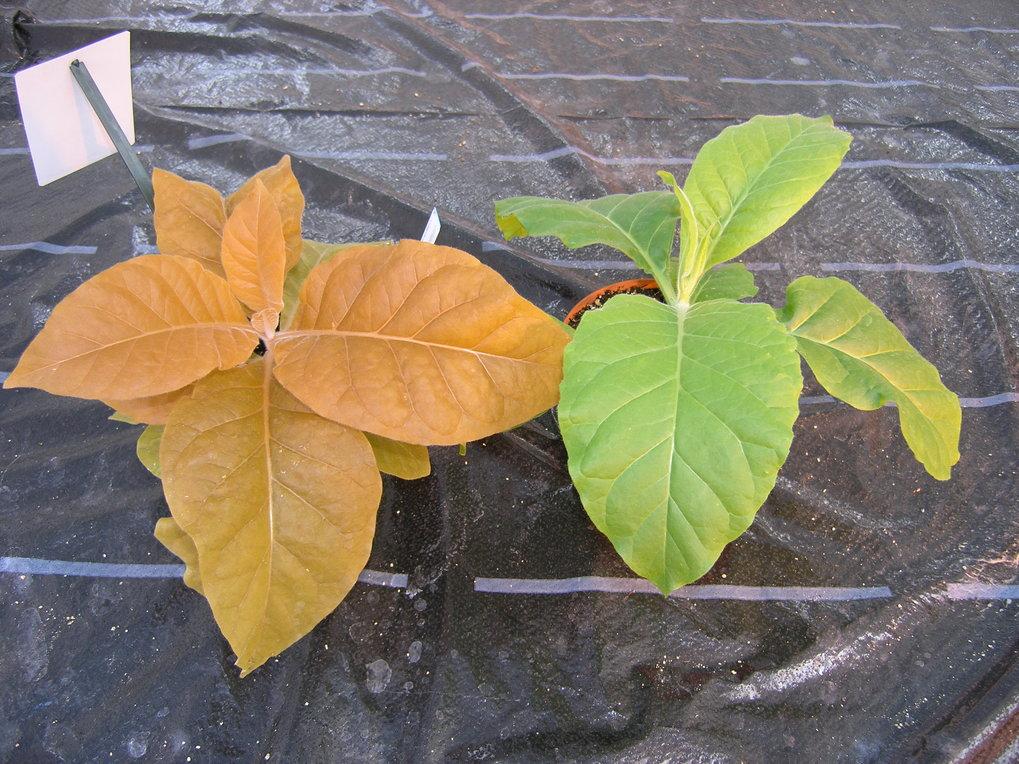 Tabakpflanze mit Astaxanthin-Gen (links): Der in den Chloroplasten gebildete Farbstoff färbt die Blätter der Pflanze rötlich.