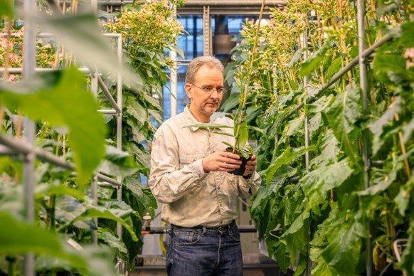 Für Ralph Bock sind genetisch veränderte Tabakpflanzen ein Weg, Substanzen künftig nachhaltiger herzustellen.