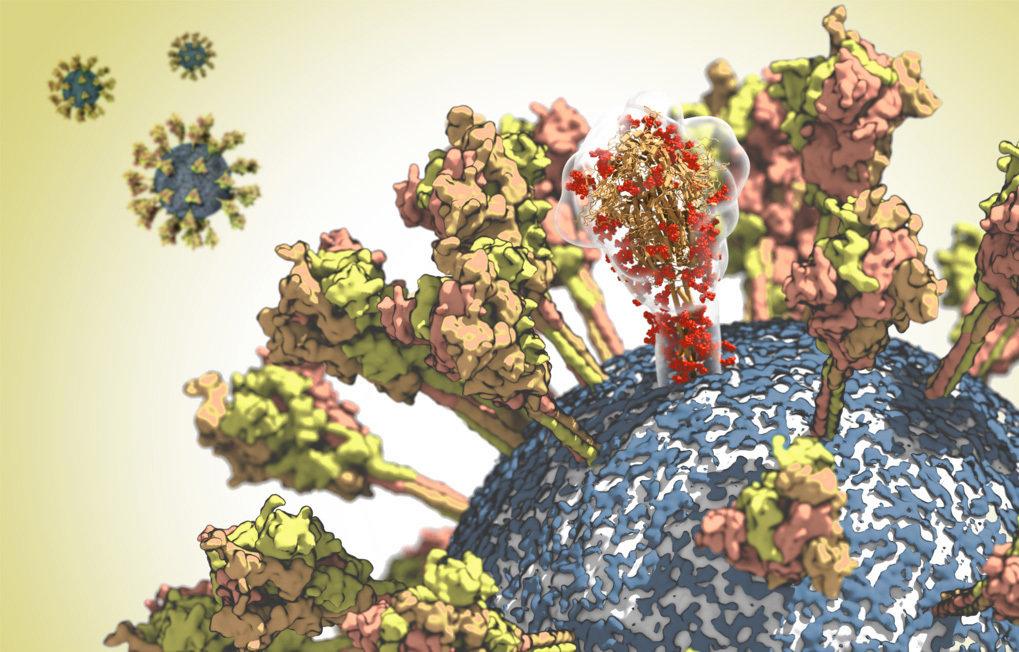 Oberfläche des CoV-2-Virus. Ein Molekül des Spike-Proteins ist durchscheinend dargestellt, um seine komplexe räumliche Struktur hervorzuheben.