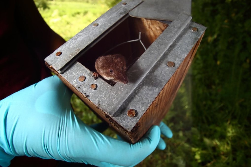 Für ihre Untersuchung fingen die Forscher die Spitzmäuse in Lebendfallen und zeichneten mehrere Stunden lang deren Stoffwechsel auf. Anschließend ließ