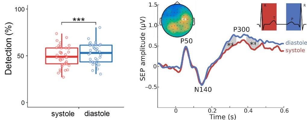 Linkes Diagramm: Während der systolischen Phase (rot) ist es unwahrscheinlicher, dass man schwache äußere Reize wahrnimmt als in der diastolischen Pha
