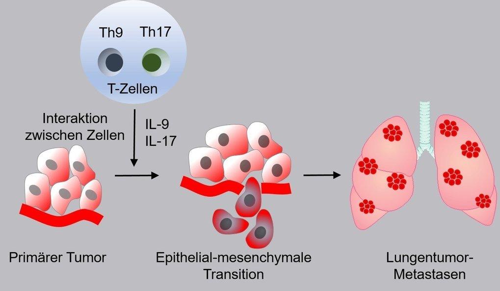 Immunzellen können an der Entstehung von Lungenmetastasen beteiligt sein: Die schematische Darstellung zeigt, wie T-Zellen (Th9/Th17) über die Freiset