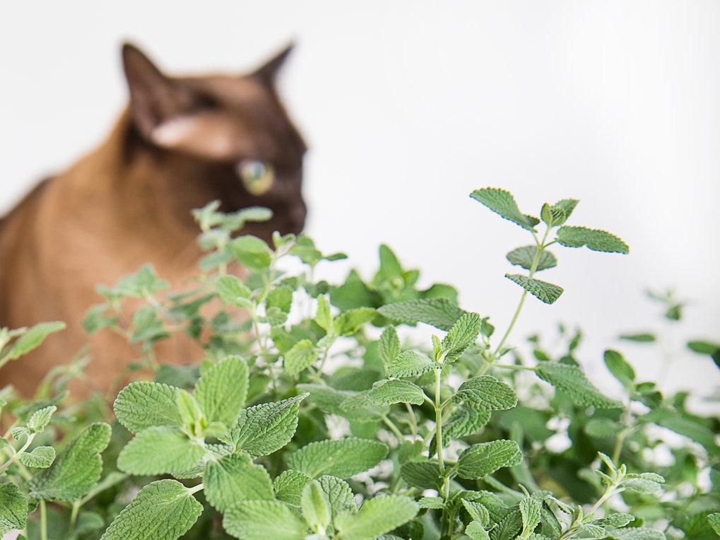 Die Katzenminze gibt den Duftstoff Nepetalacton ab, der bei bei geschlechtsreifen Katzen eine Art Rausch auslöst: Riechen die Katzen an den Pflanzen,